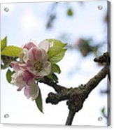 Apple Blossom Acrylic Print by Maeve O Connell