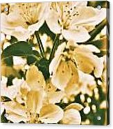 Apple Blossoms 2 Acrylic Print