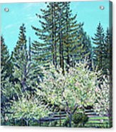 Apple Blossoms And Redwoods Acrylic Print