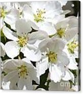 Apple Blossoms In Spring Acrylic Print