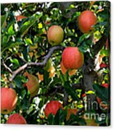 Apple Harvest - Digital Painting Acrylic Print