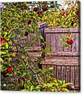 Apple Orchard Harvest Acrylic Print