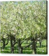 Apple Orchard Acrylic Print