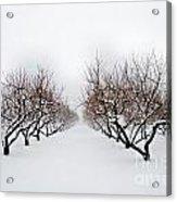 Apple Orchard Acrylic Print by Ken Marsh