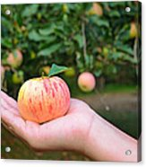 Apple Pick Acrylic Print