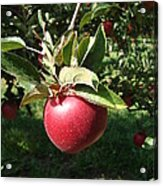 Apple Picking Acrylic Print