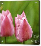 Apple Pink Tulips Acrylic Print