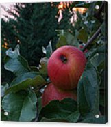 Apple Sunset Acrylic Print