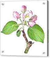 Apple Tree Flower  Acrylic Print