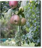 Apple Tree In Allotments In Utrecht Netherlands Acrylic Print