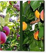 Apples And Apricots Acrylic Print by Will Borden