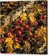 Apples In Fall Acrylic Print