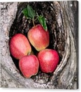 Apples In Tree Acrylic Print