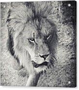 Approaching Lion Acrylic Print