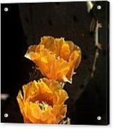 Apricot Blossoms Acrylic Print