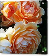 Apricot Dahlias Acrylic Print