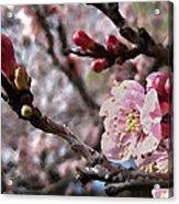 Apricot Floral Acrylic Print