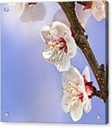 Apricot Flowers Acrylic Print