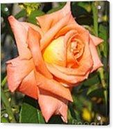 Apricot Nectar Rose Acrylic Print