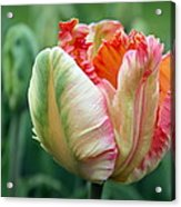 Apricot Parrot Tulip Acrylic Print