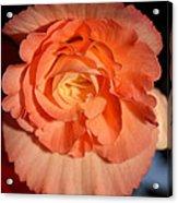 Apricot Pink Tuberous Begonia Acrylic Print
