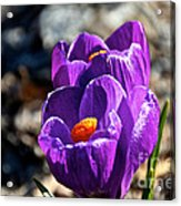April Crocus' Acrylic Print