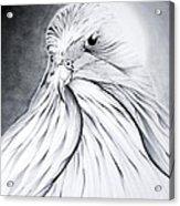 Arabian Falcon Acrylic Print