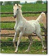 Arabian Horse Portrait In Pastels Acrylic Print