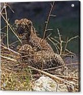 Arabian Leopard Panthera Pardus Cubs Acrylic Print