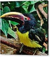 Aracari Acrylic Print
