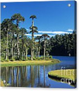 Araucaria Forest Chile Acrylic Print