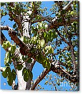 Panama Tree With Flowers Acrylic Print