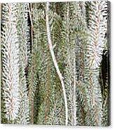 Arboretum Hoar Frost 2 Acrylic Print