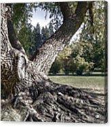 Arboretum Tree Acrylic Print by Daniel Hagerman