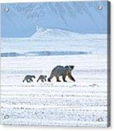 Arctic Family Acrylic Print