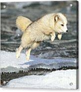 Arctic Fox Jumping Acrylic Print