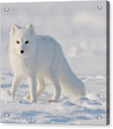 Arctic Fox Out On The Pack Ice Acrylic Print