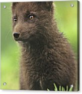 Arctic Fox Portrait Alaska Wildlife Acrylic Print