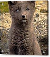 Arctic Fox Pup Alaska Wildlife Acrylic Print