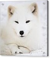 Arctic Fox Resting In The Snow Acrylic Print