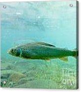 Arctic Grayling Or Thymallus Arcticus Underwater Acrylic Print