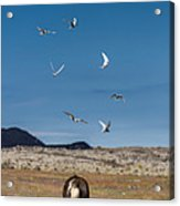 Arctic Terns With Mare And Foal Acrylic Print