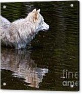 Arctic Wolf In Pond Acrylic Print