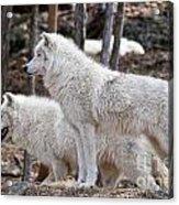 Arctic Wolf Pair Acrylic Print