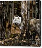 Arctic Wolf Picture 242 Acrylic Print