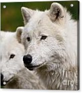 Arctic Wolf Picture 247 Acrylic Print