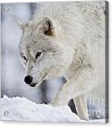 Arctic Wolf Pictures 1054 Acrylic Print