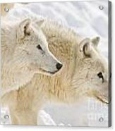 Arctic Wolf Pictures 1081 Acrylic Print