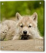 Arctic Wolf Pictures 1118 Acrylic Print