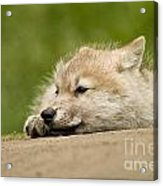 Arctic Wolf Pictures 1121 Acrylic Print